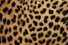 チーターの毛皮・フリーテクスチャ(Cheetah00)