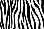 シマウマ(Zebra03)