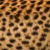 チーターの毛皮・フリーテクスチャ(Cheetah01)