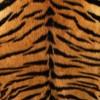 トラの毛皮・フリーテクスチャ(Tiger00)