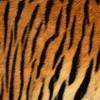 トラの毛皮・フリーテクスチャ(Tiger01)