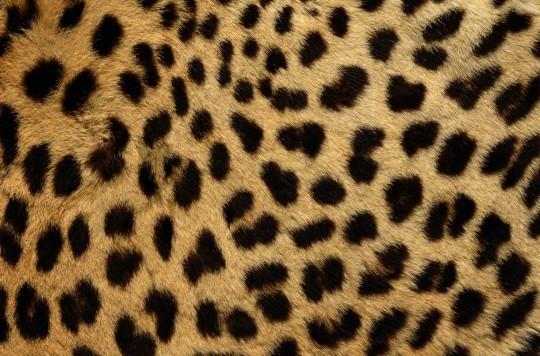 Cheetah00-540x356