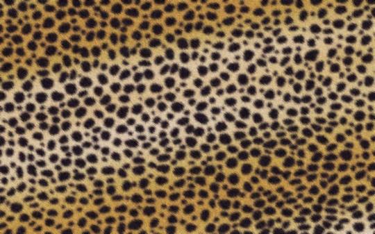 Cheetah041-540x337