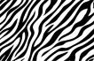 シマウマ(Zebra06)